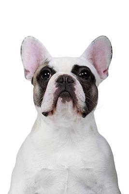 French Bulldog Poster by Mlorenzphotography