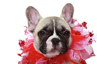 French Bulldog Puppy Poster by Mlorenzphotography