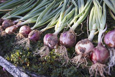 Fresh Onions, Domaine De L'ardagnole, Fajac-en-val, Languedoc-roussillon, France Poster by Puzant Apkarian