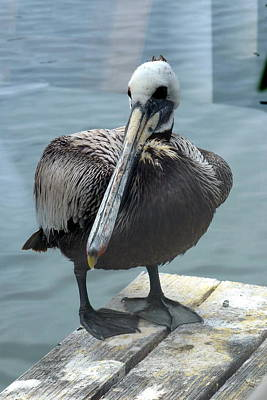 Poster featuring the photograph Friendly Pelican by Carla Parris