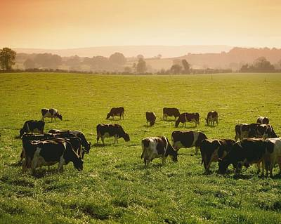 Friesian Cattle Cattle Grazing Poster by Sici