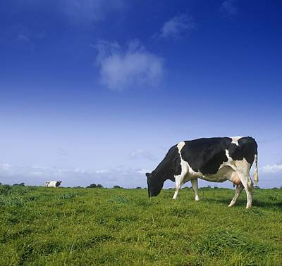 Friesian Cow Grazing In A Field Poster