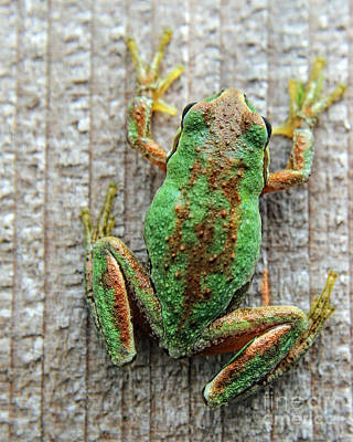 Frog On Wall Poster by Billie-Jo Miller