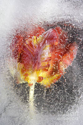 Frozen Tulip 3 Poster by Johnny Hildingsson