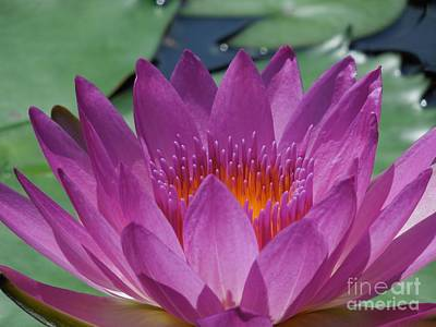 Fuchsia Water Lily Poster