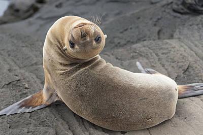 Fur Seal Otariidae Looking Back Upside Poster by Keith Levit