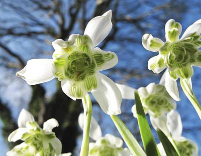 Galanthus Nivalis 'flore Pleno' Poster