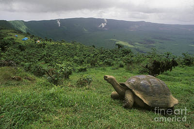 Poster featuring the photograph Galapagos Tortoise - Alcedo Crater Galapagos by Craig Lovell