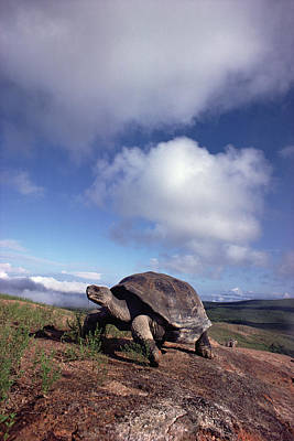 Galapagos Tortoise On Isla Isabella Poster by Tui De Roy