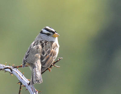 Poster featuring the photograph Gambel's White Crowned Sparrow by Ronda Broatch