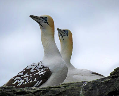 Poster featuring the photograph Gannets by Lynn Bolt