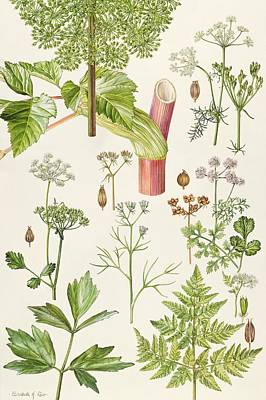 Garden Angelica And Other Plants  Poster by Elizabeth Rice