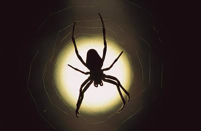 Garden Spider Araneus Sp Silhouetted Poster by Heidi & Hans-Juergen Koch