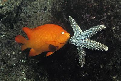 Garibaldi And Starfish Sea Of Cortez Poster