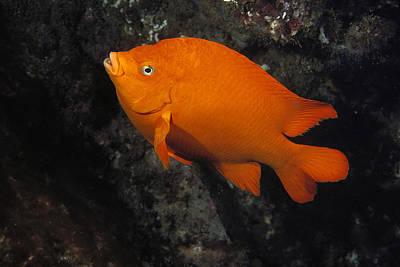 Garibaldi Swimming Channel Islands Poster
