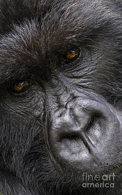 Poster featuring the photograph Garunda The Gorilla - Rwanda by Craig Lovell