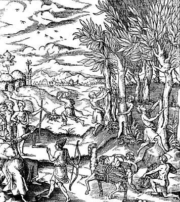Gathering Cinnamon Bark In India, 1579 Poster
