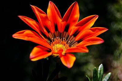 Poster featuring the photograph Gazania Krebsiana Flower by Werner Lehmann