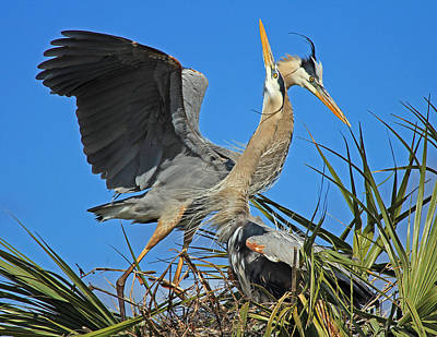 Great Blue Heron Courtship Display Poster by Larry Nieland