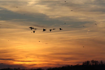 Geese In Sunset Poster
