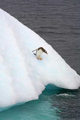 Gentoo Penguin On Iceberg, Antarctic Peninsula Poster by Eastcott Momatiuk