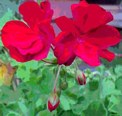 Geranium Blossoms Poster by Padre Art