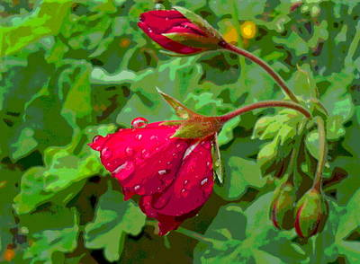Geranium Buds With Rain Poster by Padre Art