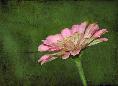 Poster featuring the photograph Gerber Daisy by Sami Martin