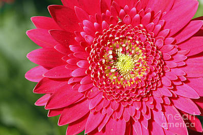 Gerbera Daisy Poster by Denise Pohl