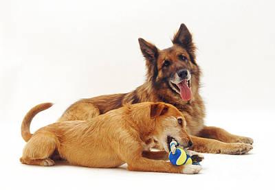 German Shepherd And Terrier-collie Cross Poster by Jane Burton