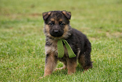 German Shepherd Puppy In Grass Poster by Sandy Keeton