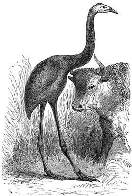 Giant Moa And Prehistoric Cow, Artwork Poster by