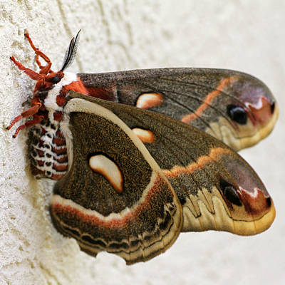 Giant Silkworm Moth 063 Poster