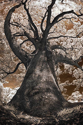 Giant White Oak Poster