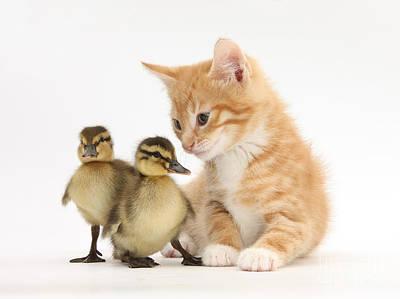 Ginger Kitten And Mallard Ducklings Poster