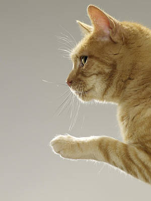 Ginger Tabby Cat Raising Paw, Close-up, Side View Poster