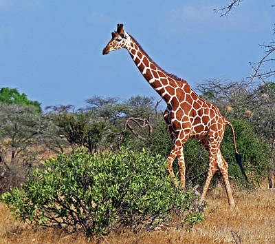 Giraffe Against Blue Sky Poster