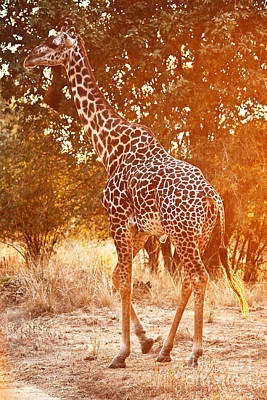 Giraffe At Sunset Poster