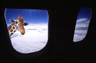 Giraffe At Window Poster