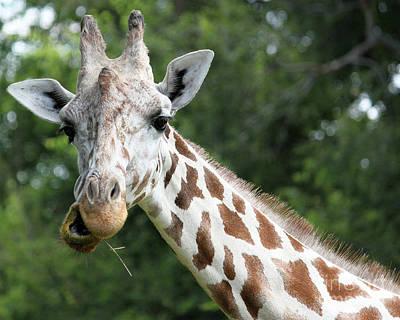 Giraffe Chewing Poster by Billie-Jo Miller