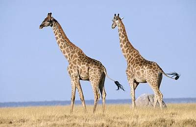 Giraffe (giraffa Camelopardalis) Pair On The Bushveld Plain Poster by Peter Lillie