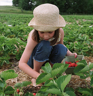 Girl Picking Strawberries Poster by Michelle Quance