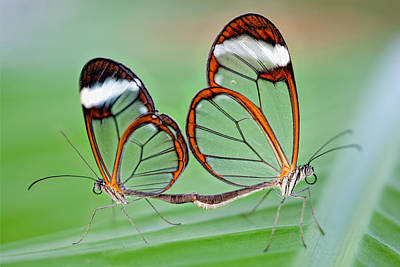 Glasswing Butterflies Mating Poster by Aminart