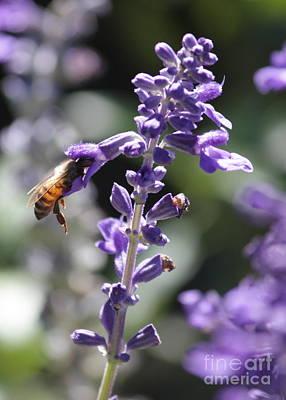 Glowing Bee In Purple Flowers Poster by Carol Groenen
