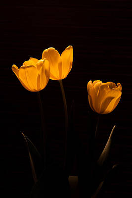 Poster featuring the photograph Glowing Tulips by Ed Gleichman