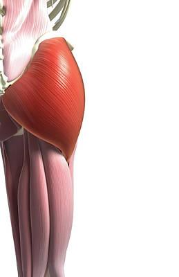 Gluteus Maximus Poster by MedicalRF.com