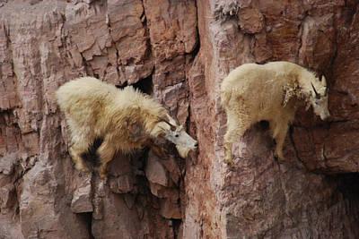 Goats On Rocks Poster