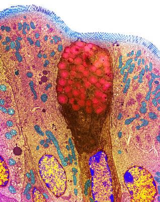 Goblet Cells Poster by Steve Gschmeissner