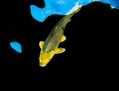 Gold Chagoi01 Poster