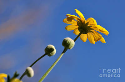 Golden Daisy On Blue Poster by Kaye Menner